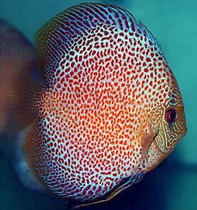 V Aquaria is dealer, wholesaler in local discus fish as ...