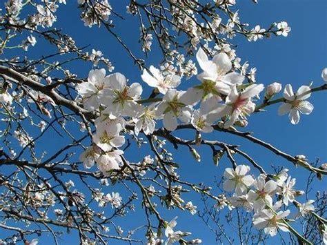 fiore di mandorlo fiore di mandorlo significato fiori
