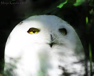 Snowy Owl with Blue Eyes