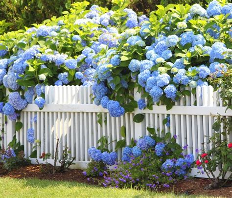 Cape Cod Picture  Hydrangea With Fence  Tommy Dixon