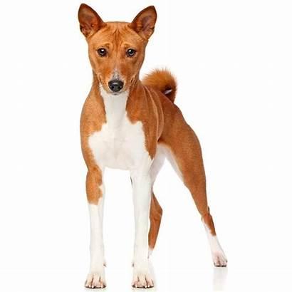 Basenji Dog Breeds Breed Dogs Basenjis Shed