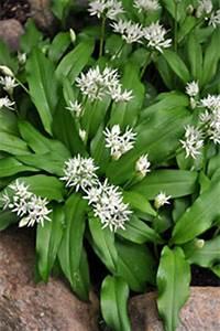 Bärlauch Pflanze Kaufen : b rlauch allium ursinum verbreitung und verwendung im kr uterlexikon ~ Eleganceandgraceweddings.com Haus und Dekorationen