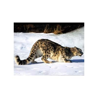 Snow Leopard Informative Facts & New PicturesThe Wildlife