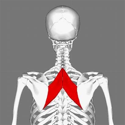 Rhomboid Muscle Major Animation Wikimedia Commons Rotate