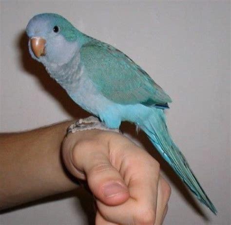 blue quaker parrot my shadow bird pets pinterest