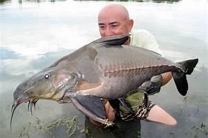 Big Fishes of the World: CATFISH RIPSAW (Oxydoras niger)