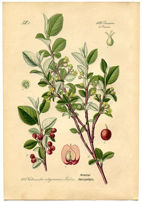 instant art printable botanical  cottoneaster