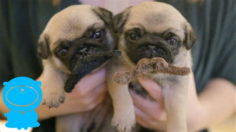 Week Old Pug Puppies With Mustaches You