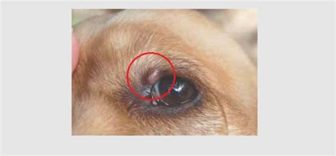 Growths & Bumps On Dog's Eyelid