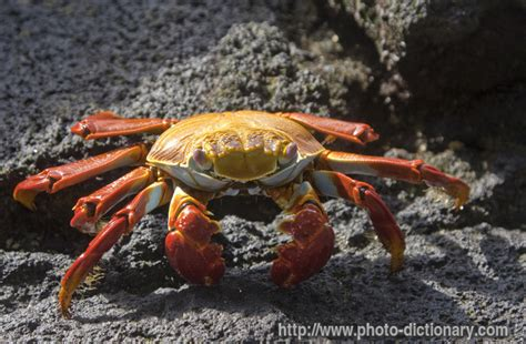 Define Light Footed by Light Foot Crab Photo Picture Definition At Photo