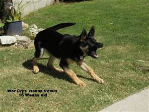 Growling German Shepherd | www.pixshark.com - Images ...