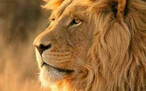 African Lion Safari Wallpaper - Free Lion Downloads