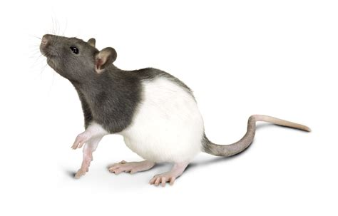 Pet Rats Black And White