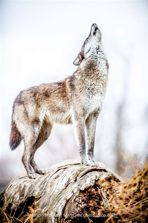 Hi friend about this video :ai video tot disign kaneka kate ai video tot live sab para.video to val lagile like ,comment ,share and subscribe koriboly. 44 best Wolf Murals images on Pinterest | Wolves, Bad wolf and Murals