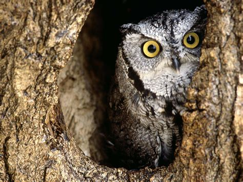 Owl Wallpapers by Owl Wallpapers Animals Library