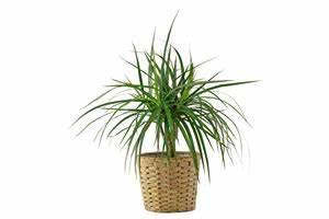 Pflege Von Zimmerpflanzen : die beliebtesten pflegeleichten zimmerpflanzen ~ Markanthonyermac.com Haus und Dekorationen