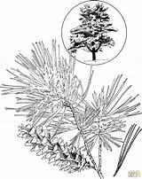 Coloring Pine Eastern Tree Clipart Template Trees Drawings Marten Drawing Line Printable Popular Sketch Skip Coloringhome sketch template