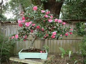 camellia in a pot camellia hiemalis