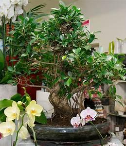 Bonsai Pflege Für Anfänger : bonsai kaufen in wien flowercompany ~ Frokenaadalensverden.com Haus und Dekorationen