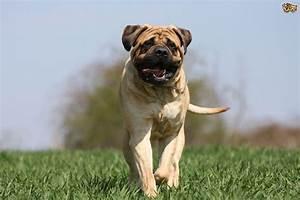 bullmastiff health and temperament