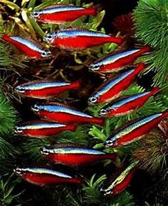 1000 images about Tropical Freshwater Fish on Pinterest