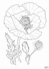 Poppy Coloring Flower Poppies Flowers Drawing Printable Drawings Outline Coquelicots Realistic Coquelicot Supercoloring Colouring Template Dessin маки Coloriage Coloriages Imprimer sketch template