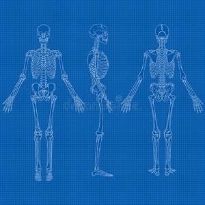 Human Skeleton Blueprint Vector Stock Vector