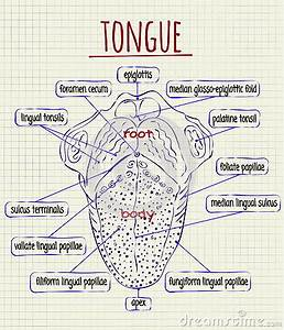 Diagram Of The Anatomy Of Human Tongue Stock Vector ...