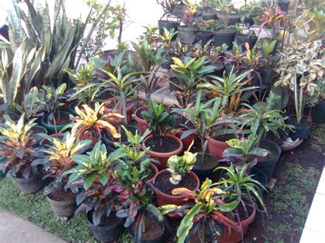 puring tanaman hias murah outdoor