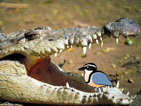 The Myth Of The Crocodile Bird