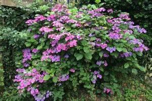 Hortensien überwintern Im Garten : bl hende hortensie ~ Frokenaadalensverden.com Haus und Dekorationen