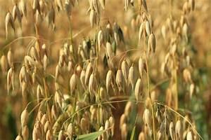 Oats | grain | Britannica.com
