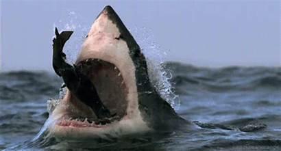 Gifs Shark Head Animated Giphy Animais Otarie