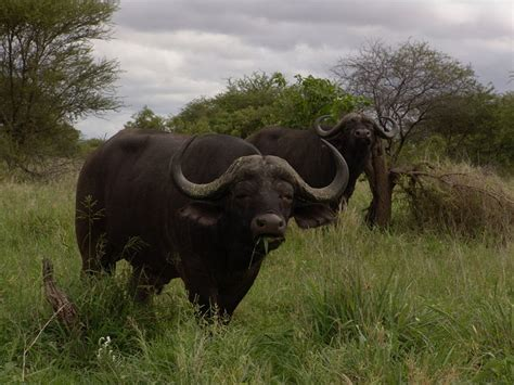 This is a list of the native wild mammal species recorded in south america.south america's terrestrial mammals fall into three distinct groups: Picture 4 of 7 - Buffalo (Syncerus Caffer) Pictures & Images - Animals - A-Z Animals