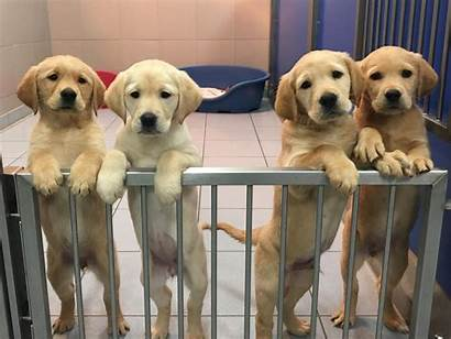 Dog Guide Puppies Homes Pups Tally Needed