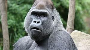 1,000 Days for the Planet | Cross River Gorilla | Radio ...