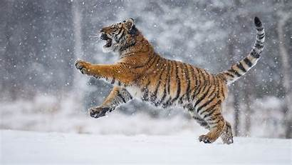 Snow Tiger Animals Background Playing Field Wallpapers
