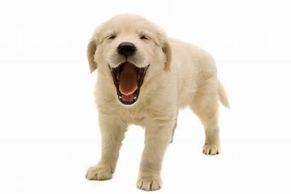 Transparent Retriever Puppy Golden Dog Background Puppies