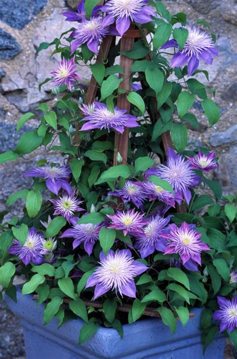can i plant clematis in a pot best blue flowers to grow in containers balcony garden web