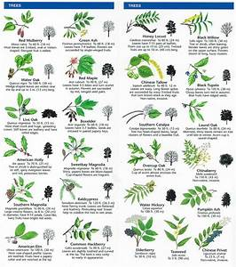 Nc Tree Identification Chart Species Identification Woodlands Conservancy