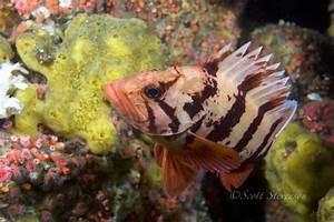 tiger rockfish - Sebastes nigrocinctus - www.8arm.com ...