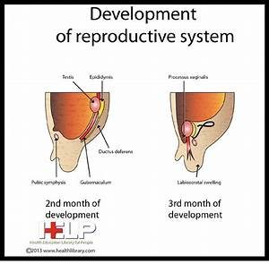 32 best Male Reproductive System images on Pinterest ...
