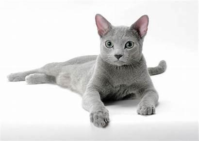 Breeds Cat Cats Russian Breed Grey Names