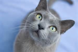 blue burmese cat emilyspets