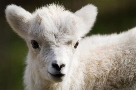 Pragues New Lamb Is A Dall Animals Cute Animals