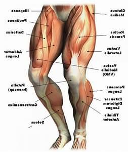 Back Of Leg Muscles Anatomy - Human Anatomy Diagram