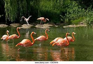 Caribbean Flamingos Stock Photos & Caribbean Flamingos ...