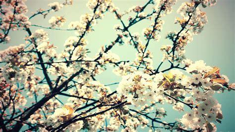 Blue Cherry Blossom Wallpaper Wallpapers De Flores Tumblr Para Fondo De Pantalla En Hd 18 Proyectos Que Debo Intentar