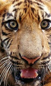Eyes of the tiger | View large A young bengal tiger giving ...