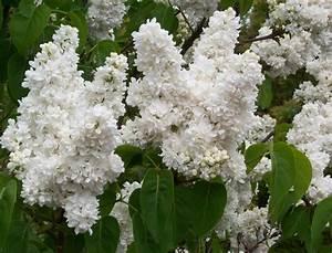 Lilas les differentes varietes de lilas pratiquefr for Photo de jardin de particulier 13 lilas les differentes varietes de lilas pratique fr